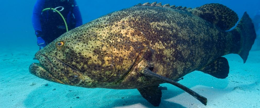 Reef Relief statement regarding the proposed Goliath Grouper rules
