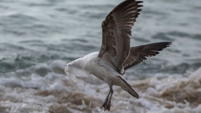 Plastic pollution: 'Hidden' chemicals build up in seabirds