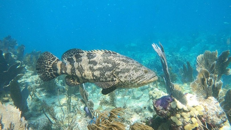 Continue Protecting Goliath Groupers
